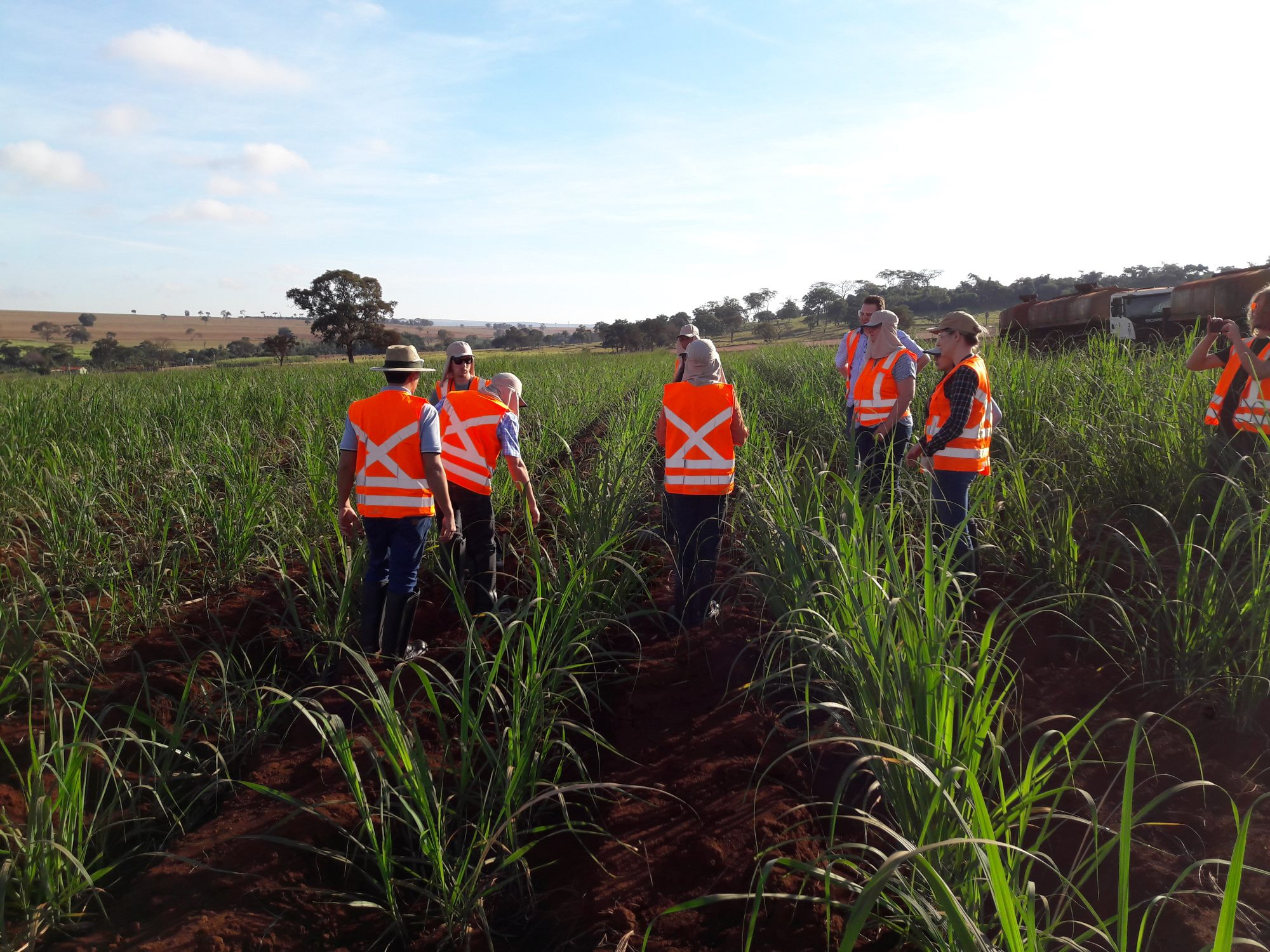 sugarcane field planted